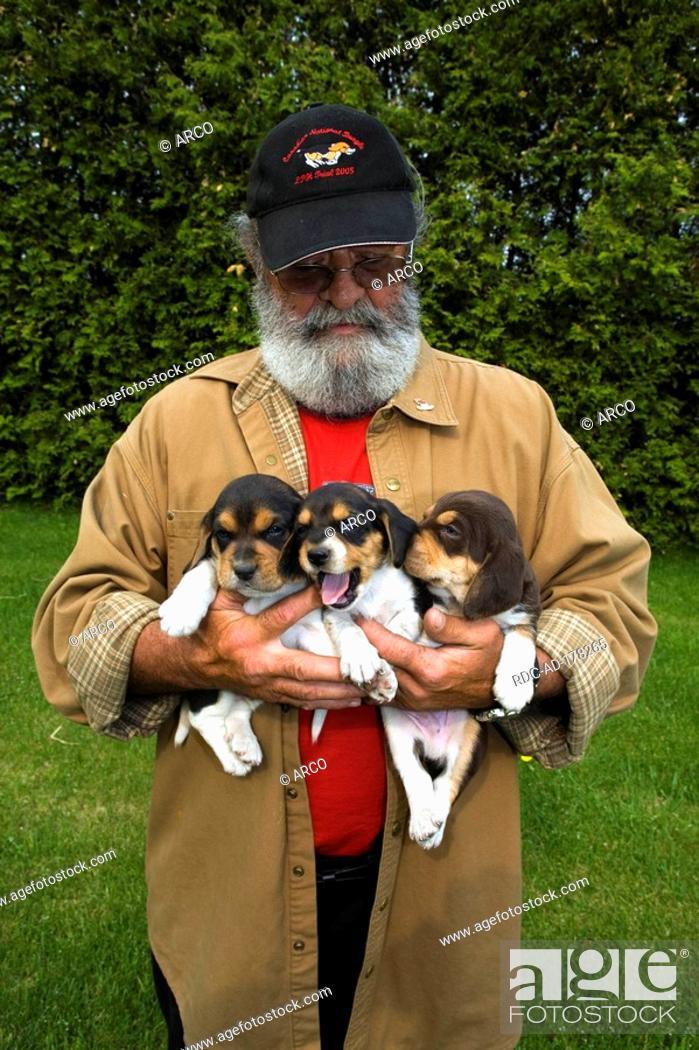 Breeder With Beagles Puppies On Arm Marcel Collard Farm