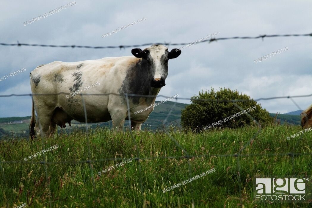 Stock Photo: Cow standing on a hill, Killarney National Park, Killarney, County Kerry, Republic of Ireland.
