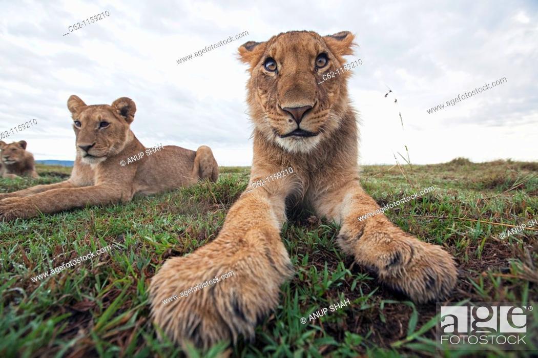 Stock Photo: Lion (Panthera leo) adolescents resting -wide angle perspective-, Maasai Mara National Reserve, Kenya.