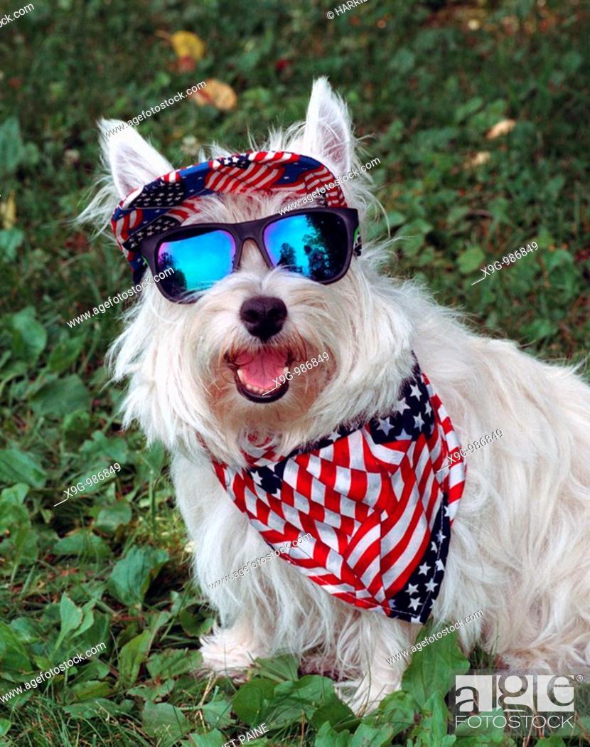 Stock Photo: West Highland White Terrier.