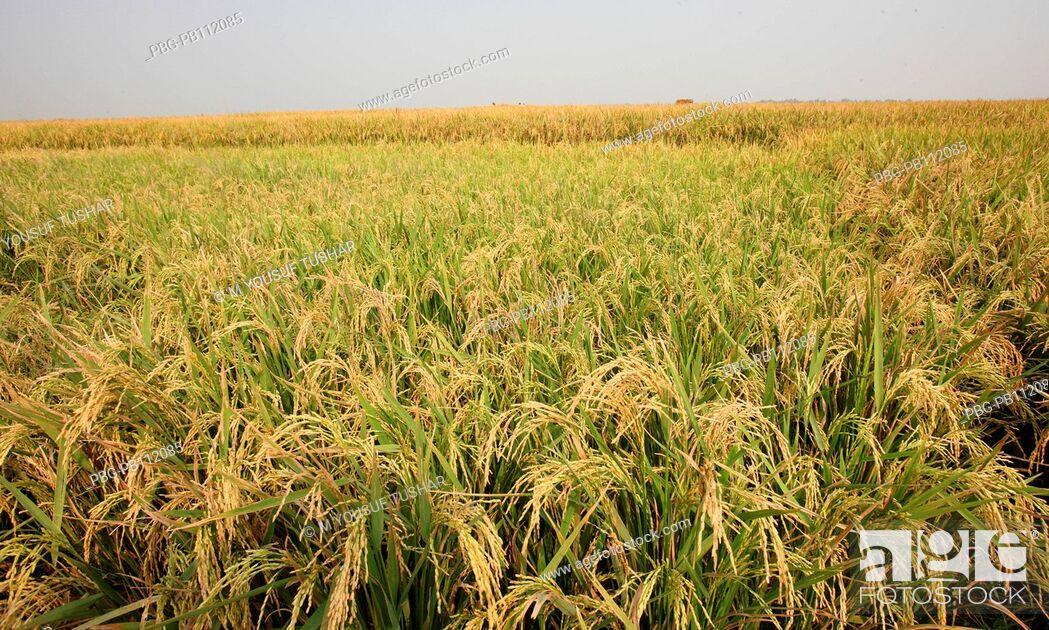 Imagen: a paddy field in Rajshahi disrict of bangladesh.