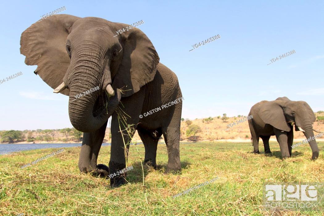 Imagen: African Elephant (Loxodonta africana), eating, Chobe National Park, Botswana.
