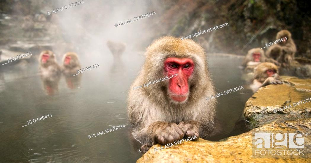 Stock Photo: Japanese Macaque Macaca fuscata snow monkey Nagano Japan.