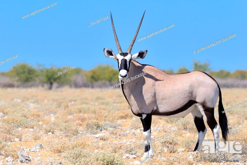 Stock Photo: Gemsbok (Oryx gazella), adult male standing on stony ground, Etosha National Park, Namibia, Africa.