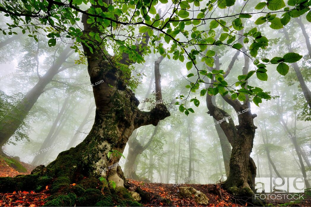 Stock Photo: Low angle view of misty forest, Crimea, Ukraine.