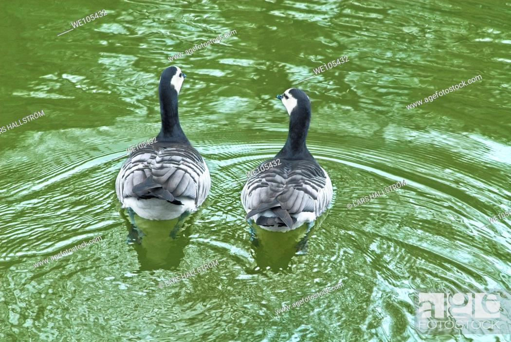 Stock Photo: A pair of Canadian geese Branta canadensis, Stockholm, Sweden.