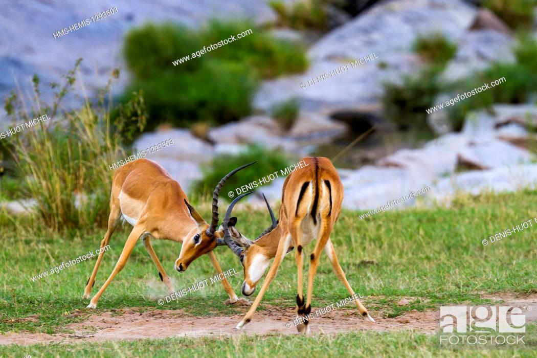 Imagen: Kenya, Masai Mara national reserve, Impala (Aepyceros melampus), males fighting.