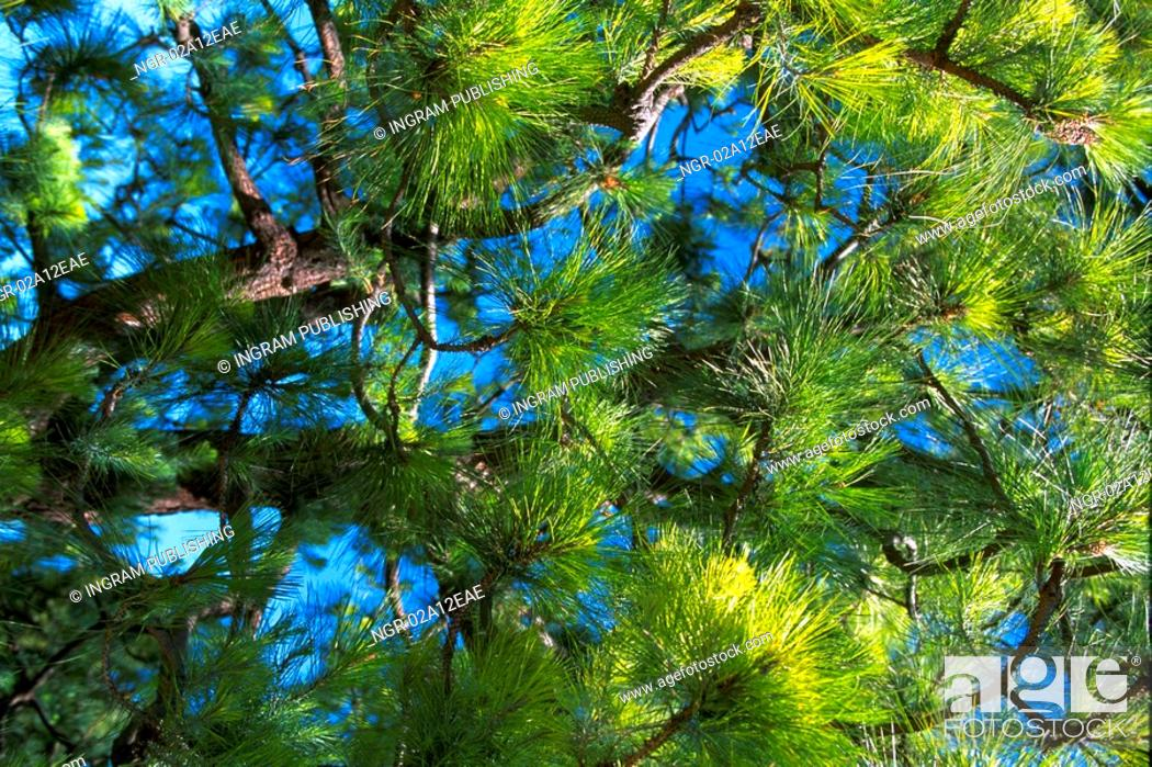 Stock Photo: Low angle view of the branches of a coniferous tree.