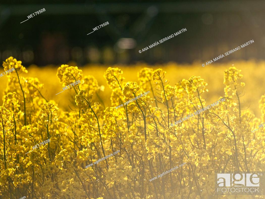 Imagen: A rapeseed field in bloom (Brassica napus) in spring in Salamanca for the production of rapeseed oil and biodiesel.