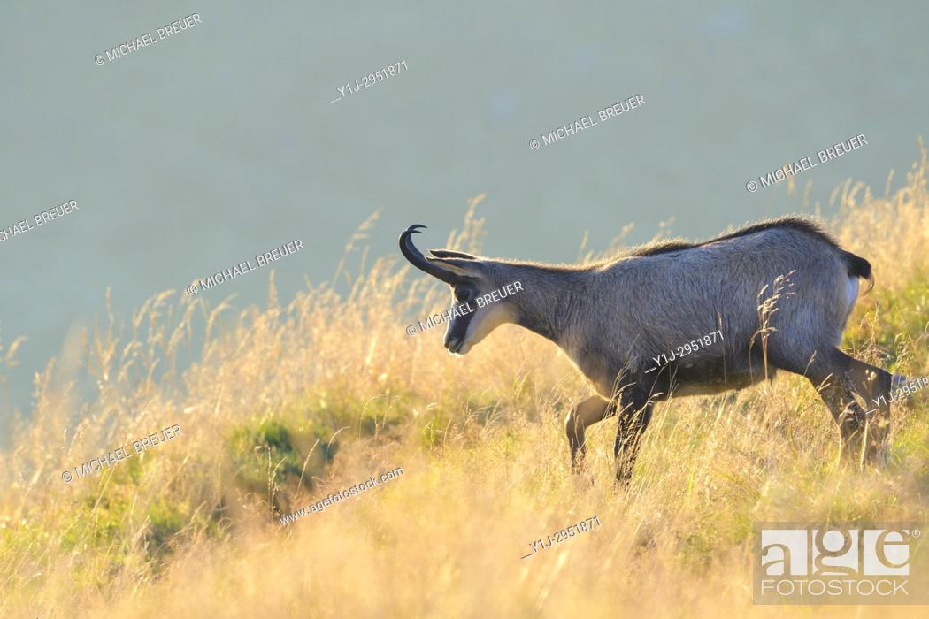 Stock Photo: Chamois (Rupicapra rupicapra), Hohneck, Vosges, Alsace, France, Europe.