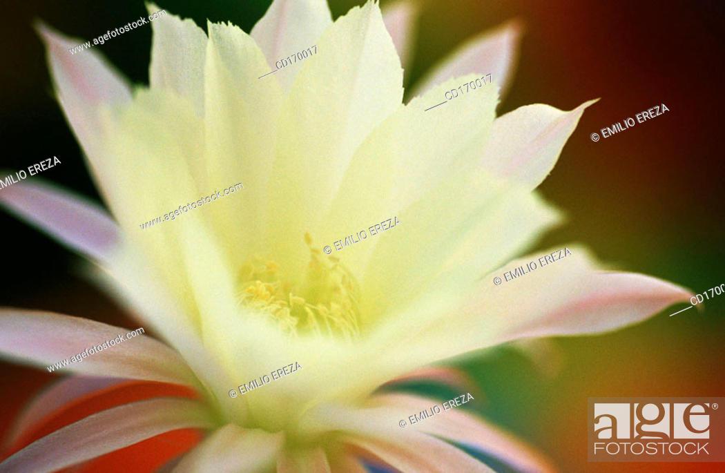 Stock Photo: Echinopsis hybr.