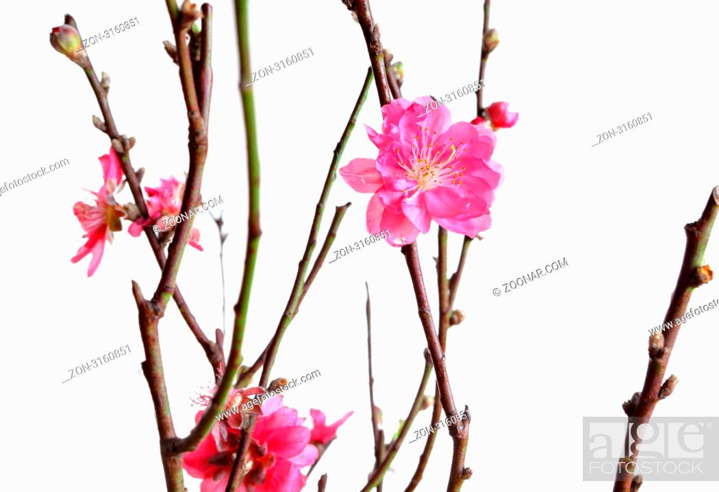 Stock Photo: cherry blossoms for chinese new year.