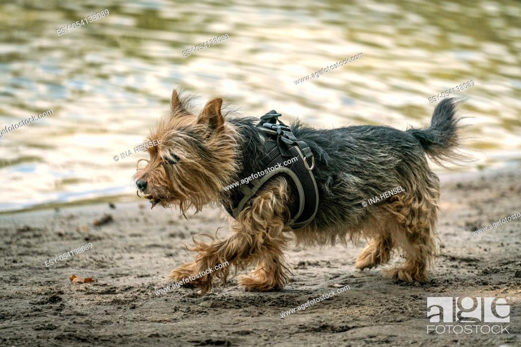 Stock Photo: Cairn terrier cross breed for a walk on a beach near a lake on a sunny autumn day.