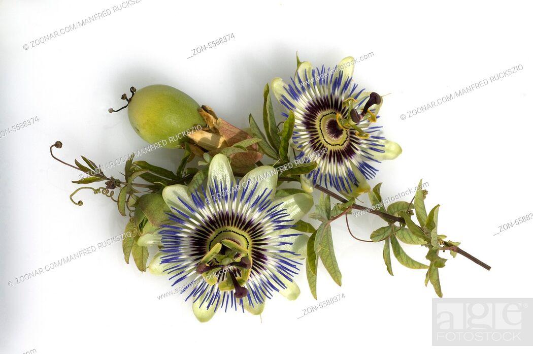 Stock Photo: Passionsblume, Passiflora caerulea.