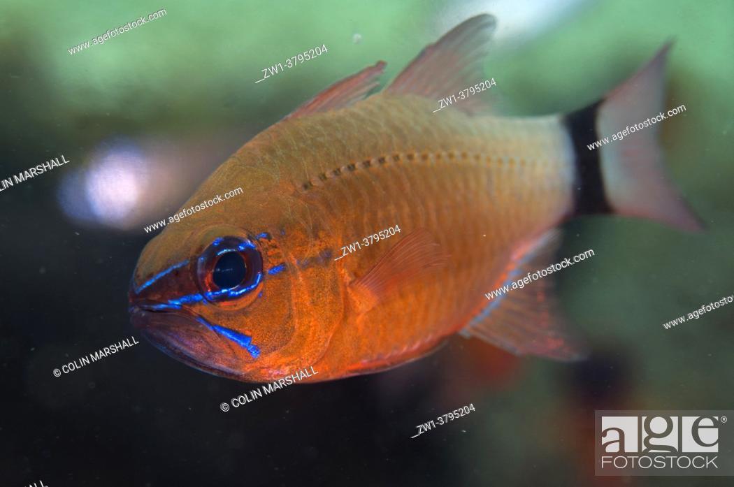 Stock Photo: Ringtailed Cardinalfish (Ostorhinchus aureus), Coral Garden dive site, Seraya, Karangasem, Bali, Indonesia.