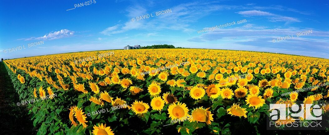 Stock Photo: Field of Sunflowers, Kansas, USA.