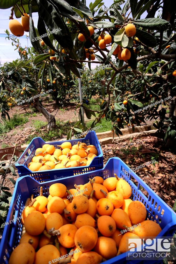 Stock Photo: A basket with persimmons in a plantation.