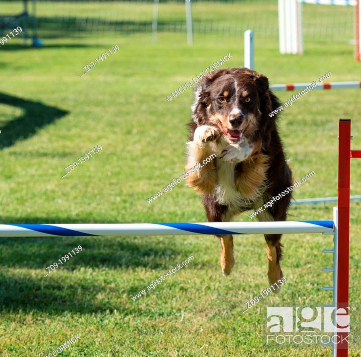 Stock Photo: A border collie flies over a jump in an agility trial.