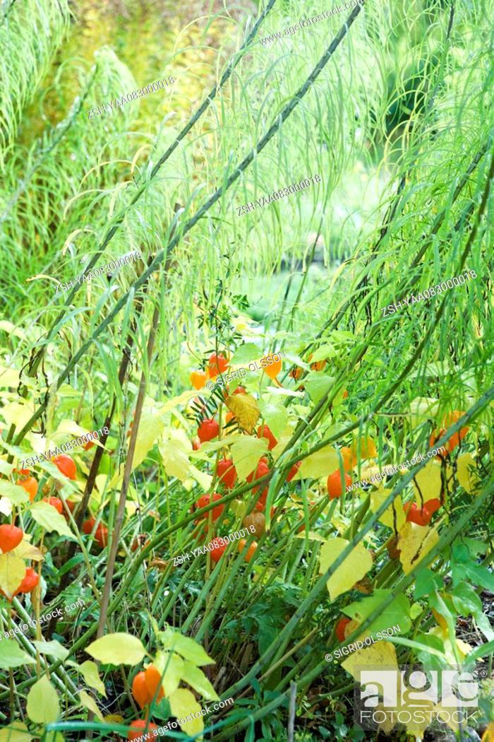 Stock Photo: Winter cherry Physalis alkekengi growing.