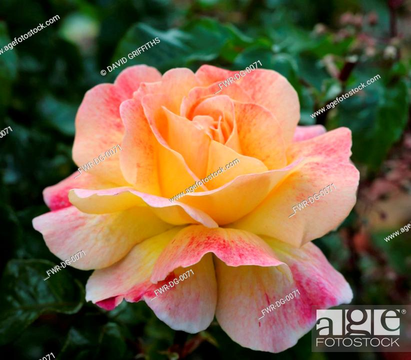 Imagen: Rose, Rosa, Single peach coloured flower growing outdoor.