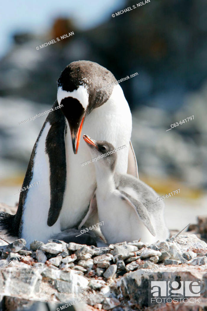 Stock Photo: Gentoo penguin (Pygoscelis papua) adults and chicks in their breeding and nesting colonies in and around the Antarctic Peninsula.