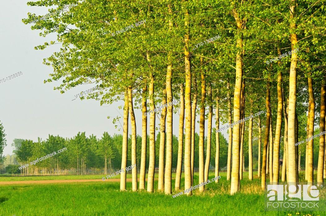 Stock Photo: France, Indre et Loire, poplar plantation.