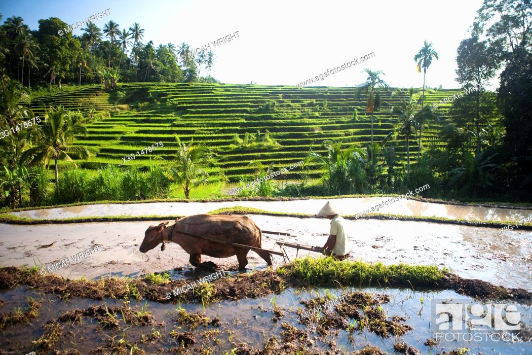 Stock Photo: Some of the countless rice fields when traveling across Bali's interior, Indonesia.