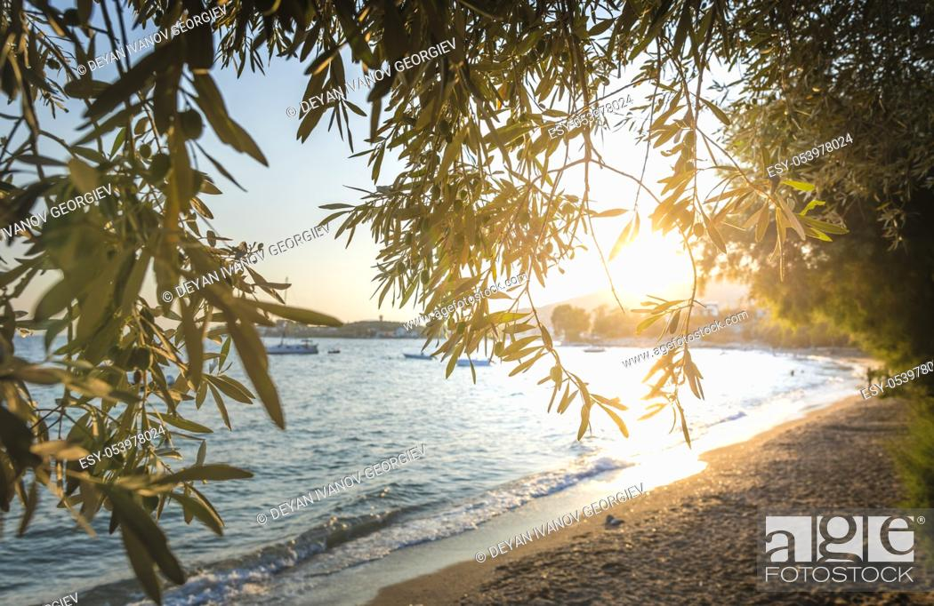 Stock Photo: Olive trees, sea and sunset.