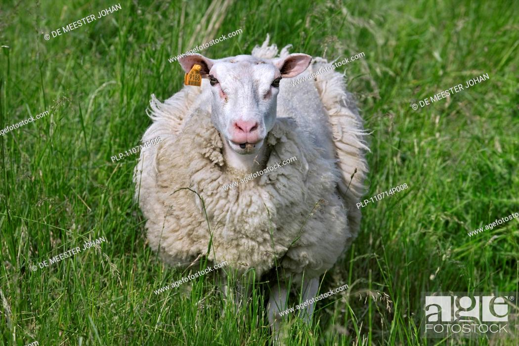 Stock Photo: Domestic sheep Ovis aries in meadow shedding wool, Belgium.