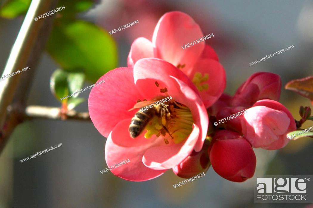 Stock Photo: blooms, bee wings, bloom dusting, berne, bees, blumenstaengel, animals.