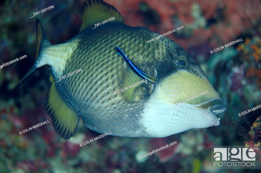 Stock Photo: Titan Triggerfish (Balistoides viridescens) being cleaned by Bluestreak Cleaner Wrasse (Labroides dimidiatus), Boo Rocks dive site, Boo Island, Misool.