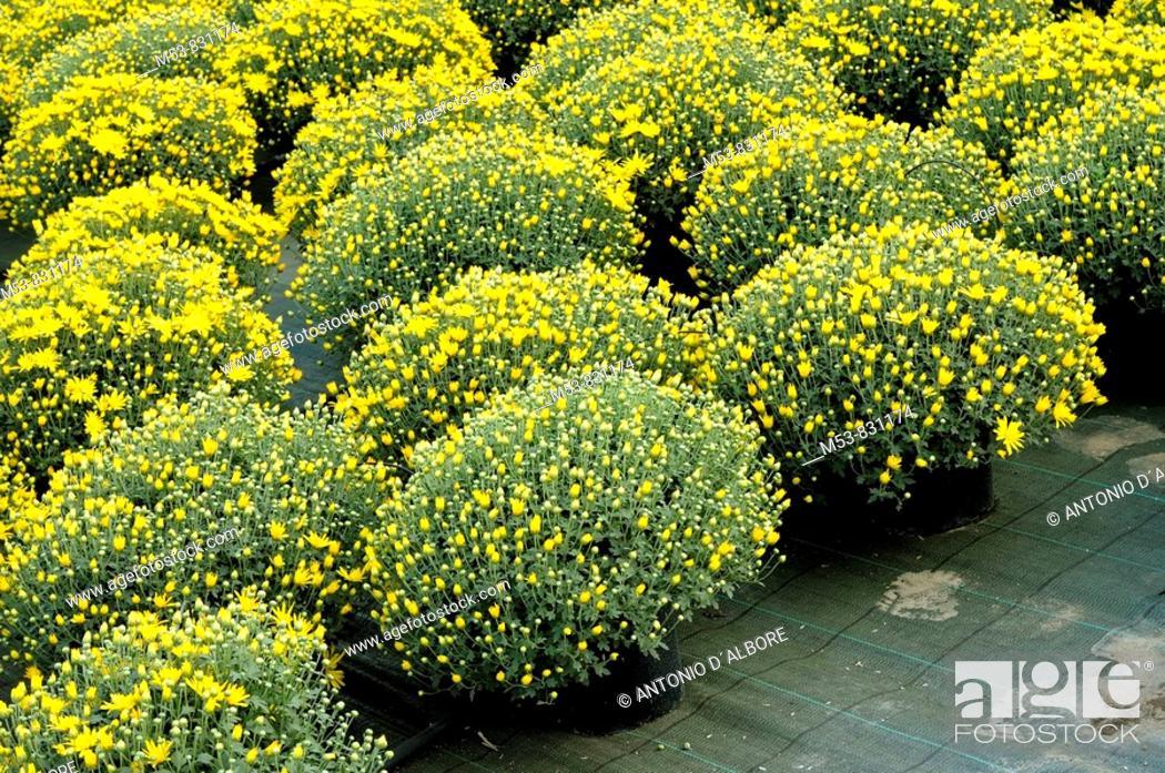 Stock Photo: pots of yellow Chrysanthemum in a plants nursey.