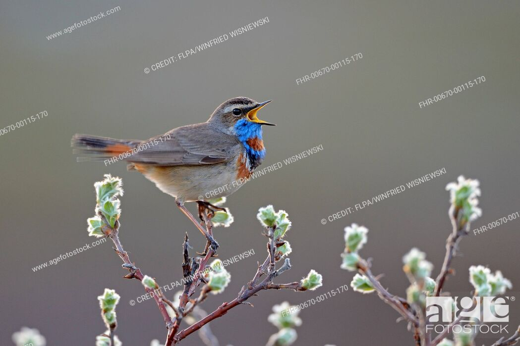 Stock Photo: Red-spotted Bluethroat (Luscinia svecica svecica) adult male, singing, perched on twig, Norway, June.
