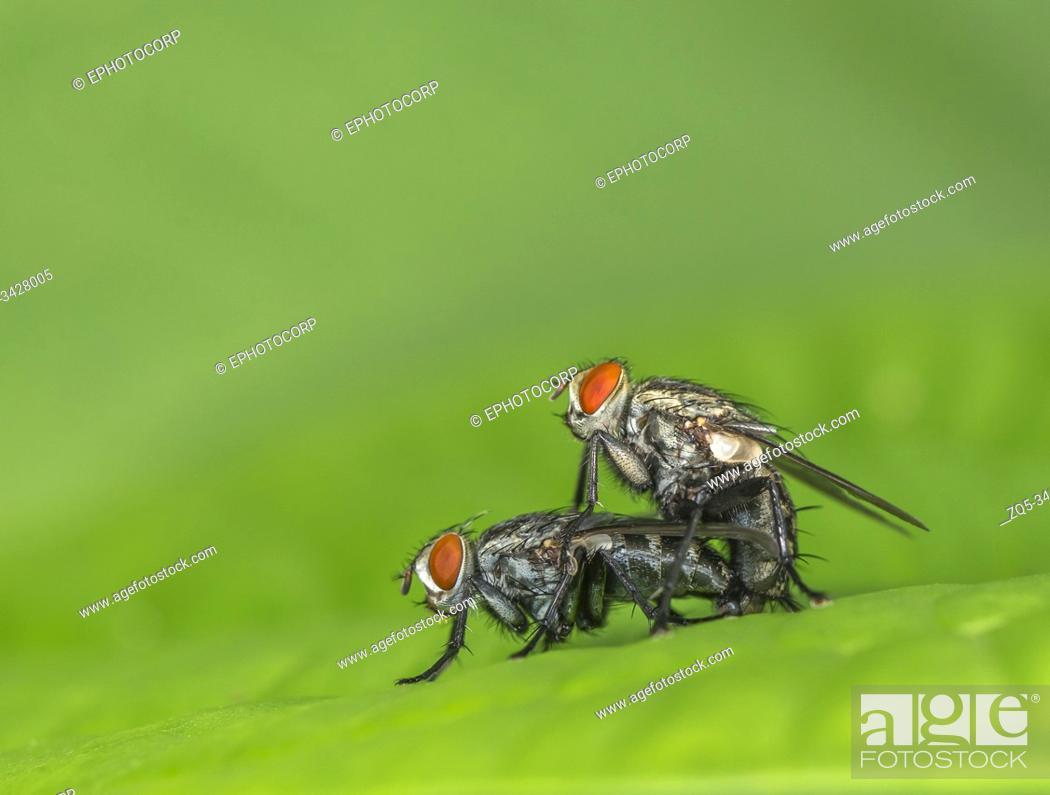 Stock Photo: Housefly mating, Mumbai, Maharashtra, India.