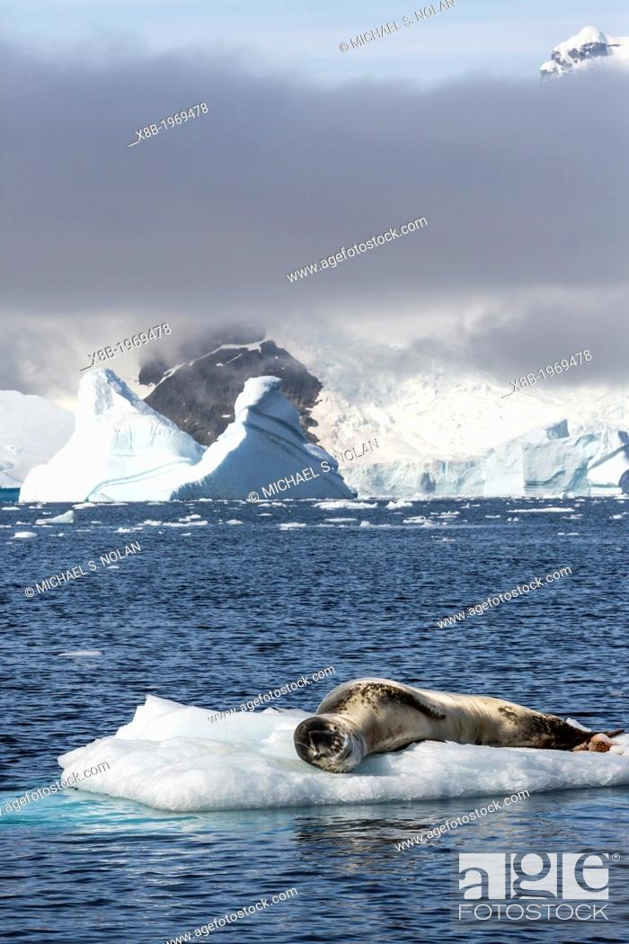 Stock Photo: Adult leopard seal, Hydrurga leptonyx, Booth Island, Antarctic Peninsula, Southern Ocean.