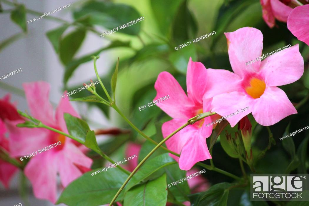Stock Photo: Close up of pink Mandevilla flowers.