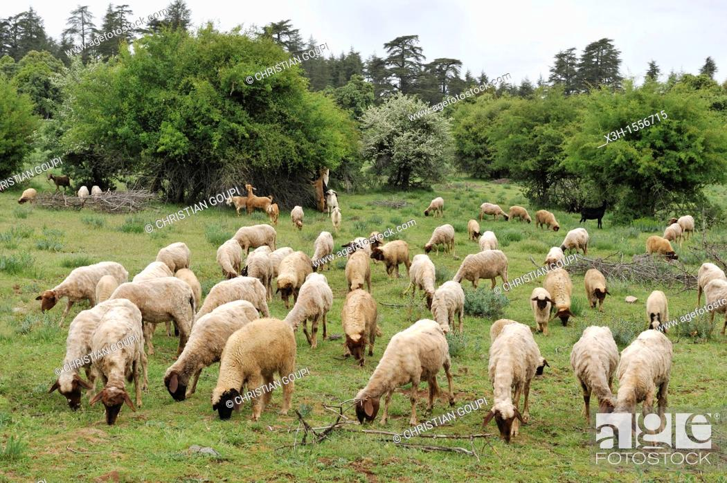 Stock Photo: flock of sheep in a clearing, Atlas cedar forest, near Azrou, Middle Atlas, Morocco, North Africa.