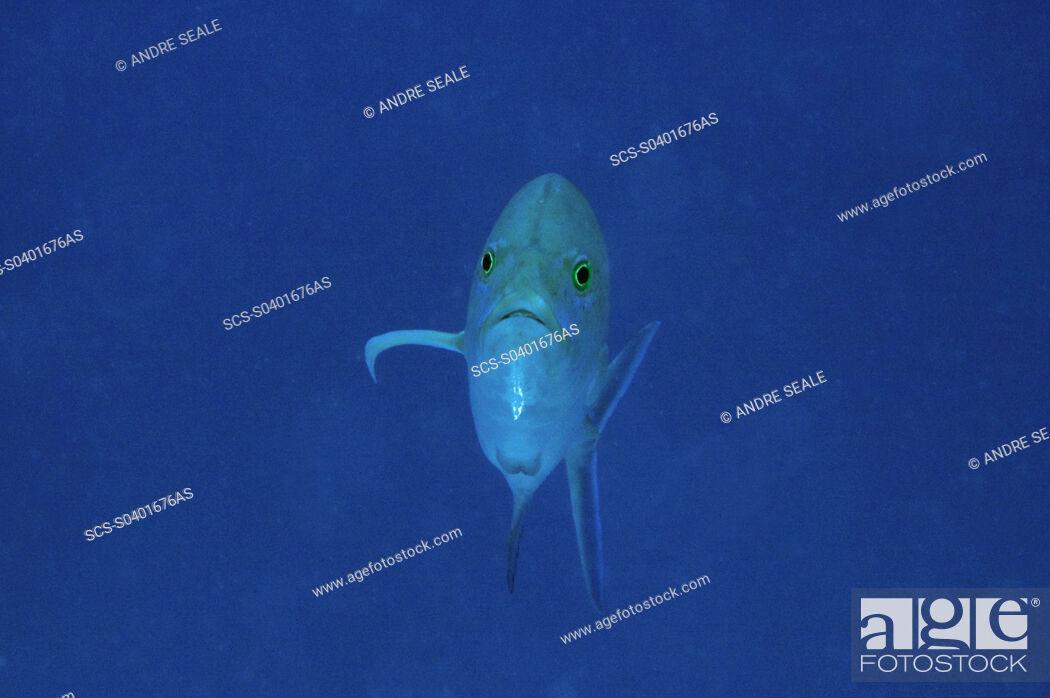 Stock Photo: Bluefin trevally, Caranx melampygus, Ailuk atoll, Marshall Islands, Pacific.