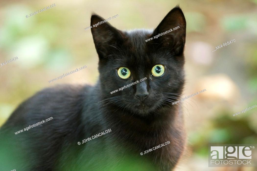 Stock Photo: Cat, semi-feral, Oregon, USA.
