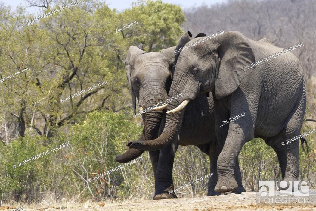 Stock Photo: African bush elephants (Loxodonta africana), two playful elephant bulls standing side by side at a waterhole, Kruger National Park, South Africa, Africa.