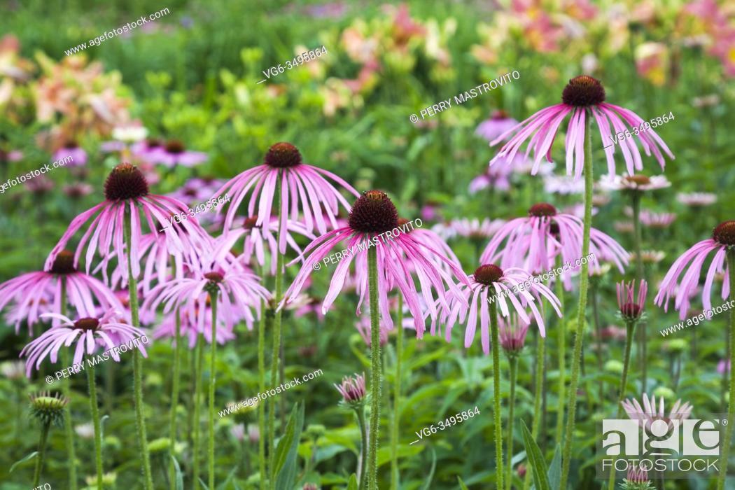 Stock Photo: Pale purple Echinacea pallida - Coneflowers in summer border, Quebec, Canada.