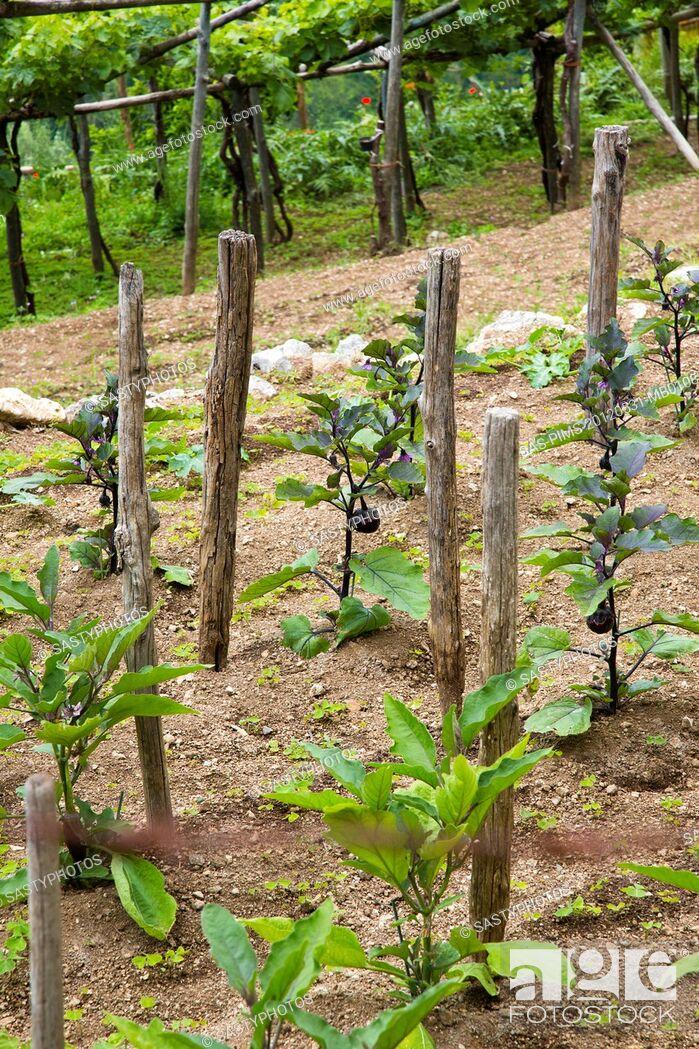 Imagen: Vines in a vineyard, Ravello, Amalfi Coast, Salerno, Campania, Italy.
