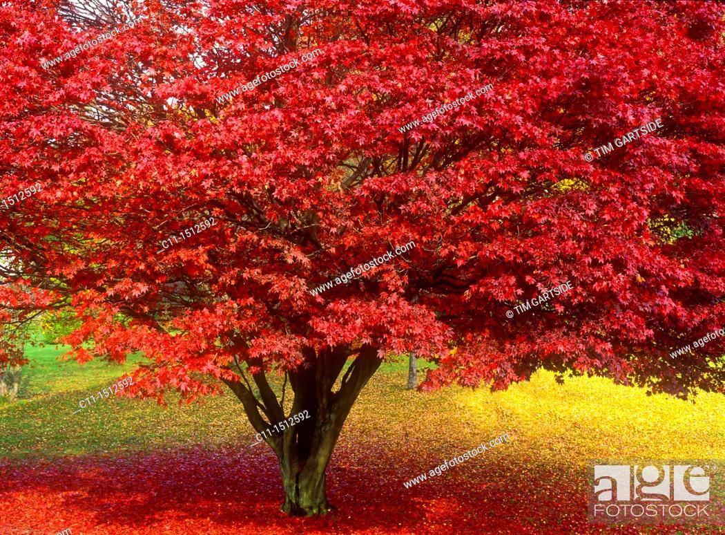 Imagen: japanese maple tree in autumn colours, lake district, cumbria, england, uk, europe.