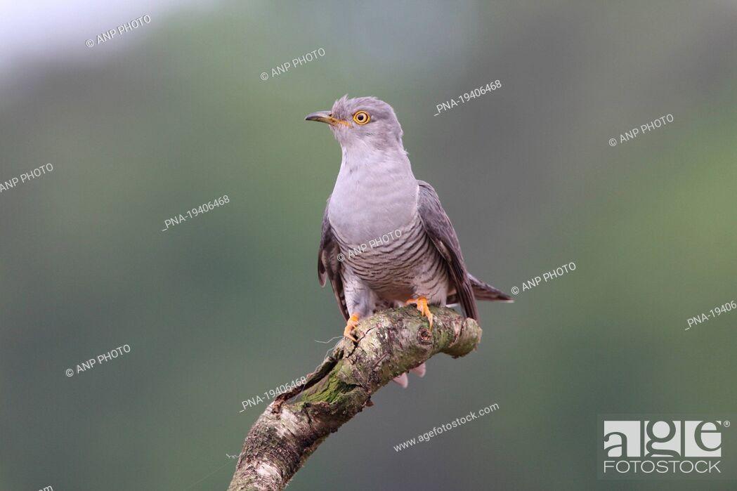 Imagen: Common Cuckoo Cuculus canorus - Wierdense veld, Nijverdal, Twente, Overijssel, The Netherlands, Holland, Europe.