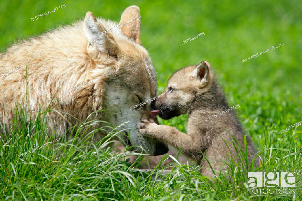 Stock Photo: Wolves (Canis lupus), mother and cub, captive. Germany.