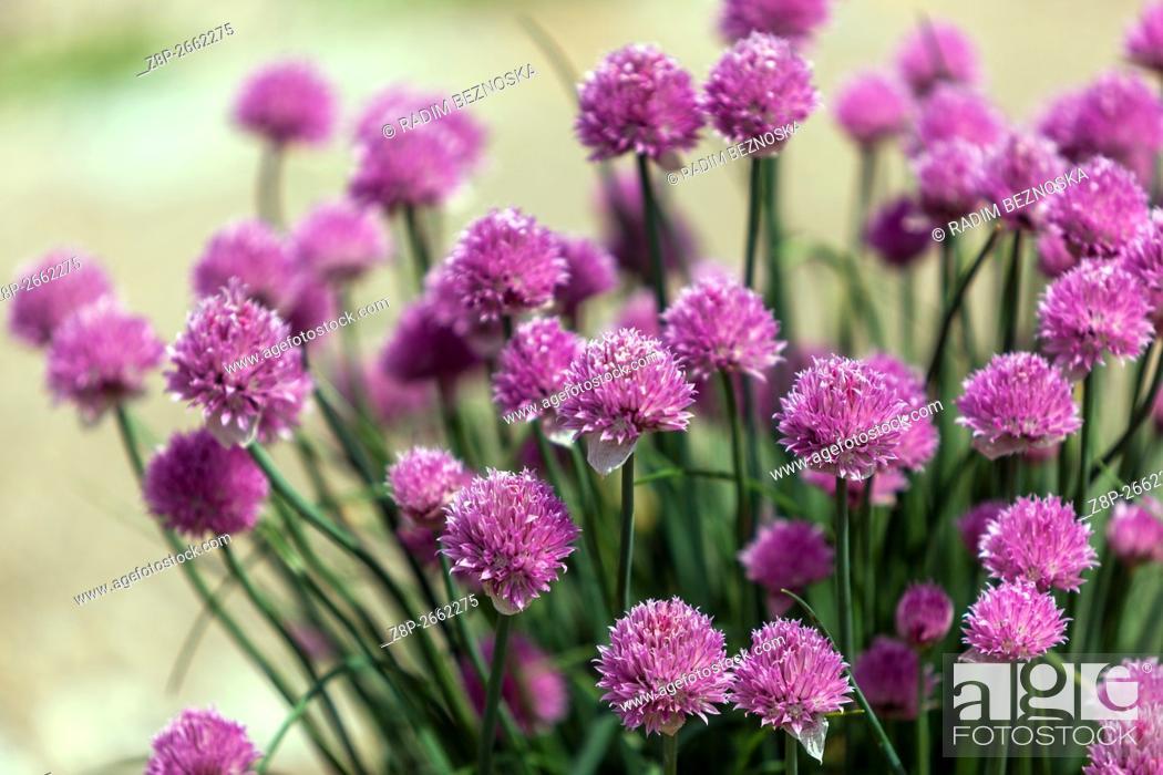Imagen: Chives Flowers Alium schoenoprasum.