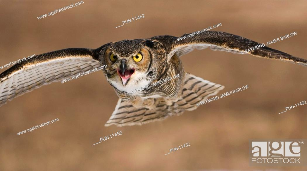 Stock Photo: Great horned owl Bubo virginianus incoming flight with a mean look, Ontario, Canada.