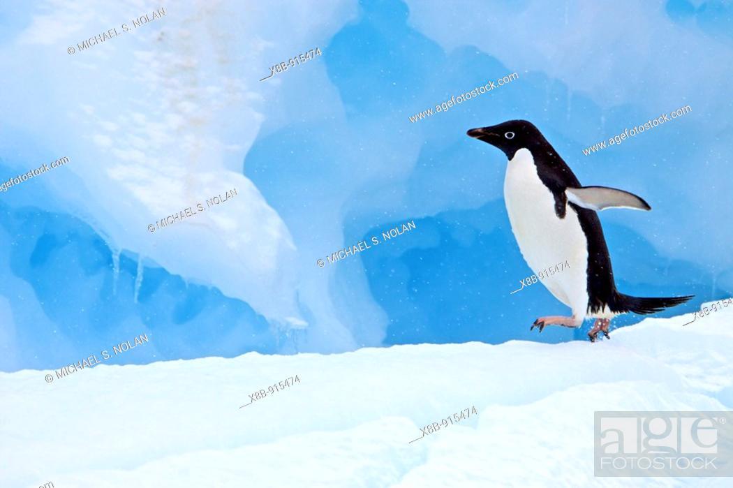 Stock Photo: Adult Adelie penguin Pygoscelis adeliae on iceberg near the Antarctic Peninsula, Antarctica  The Adélie Penguin is a type of penguin common along the entire.