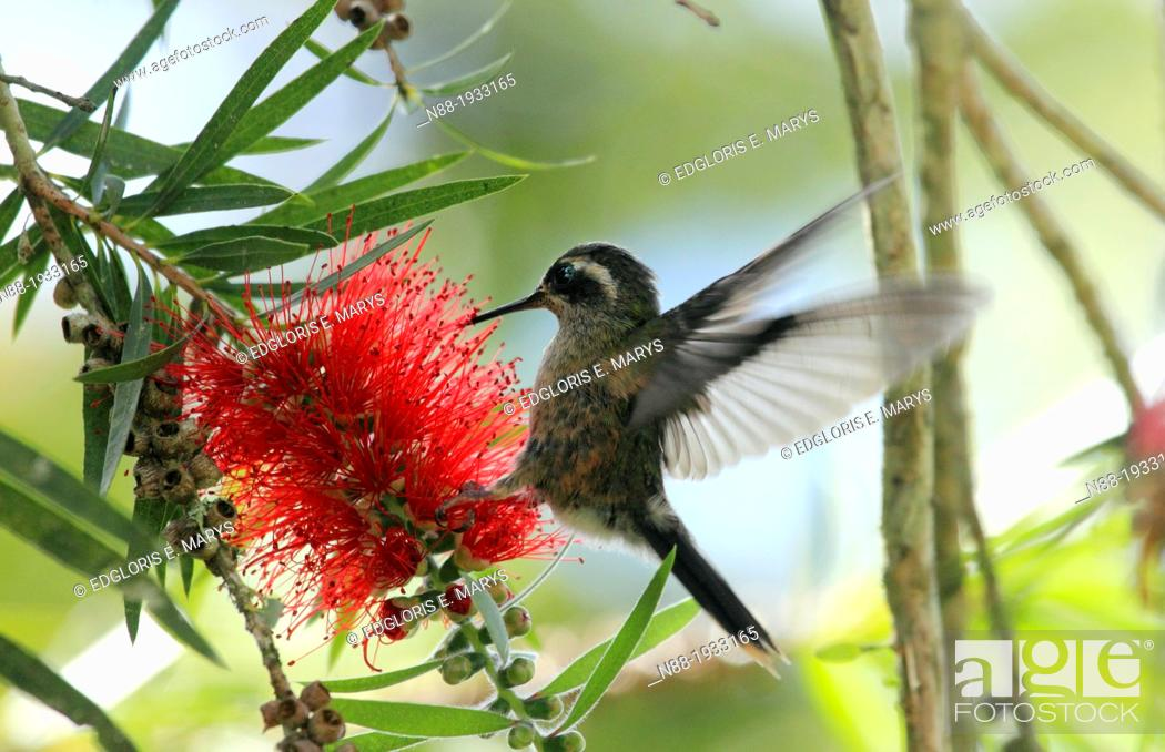 Stock Photo: Speckled Hummingbird Venezuela.