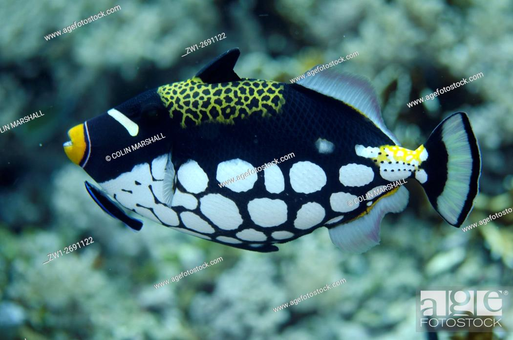 Stock Photo: Clown Triggerfish (Balistoides conspicillum) being cleaned by Bluestreak Cleaner Wrasse (Labroides dimidiatus), Tank Rock dive site, Fiabacet Island, Misool.